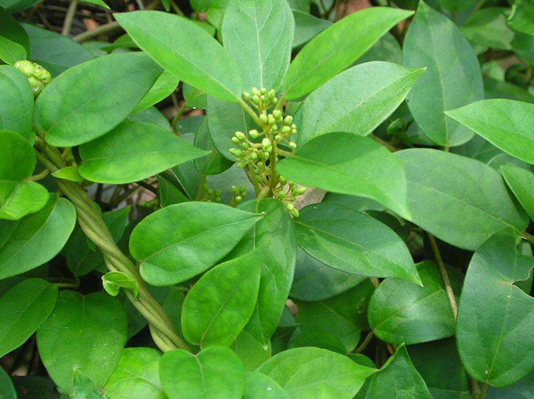 Green Stone bioactive natural stevia extract wholesale for food-1