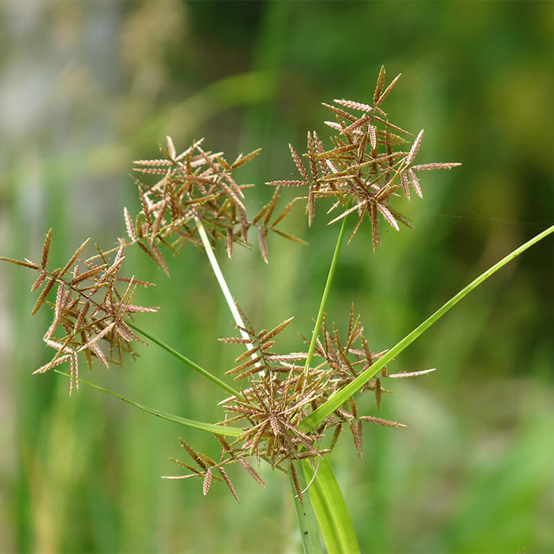 Cyperus Rotundus Extract