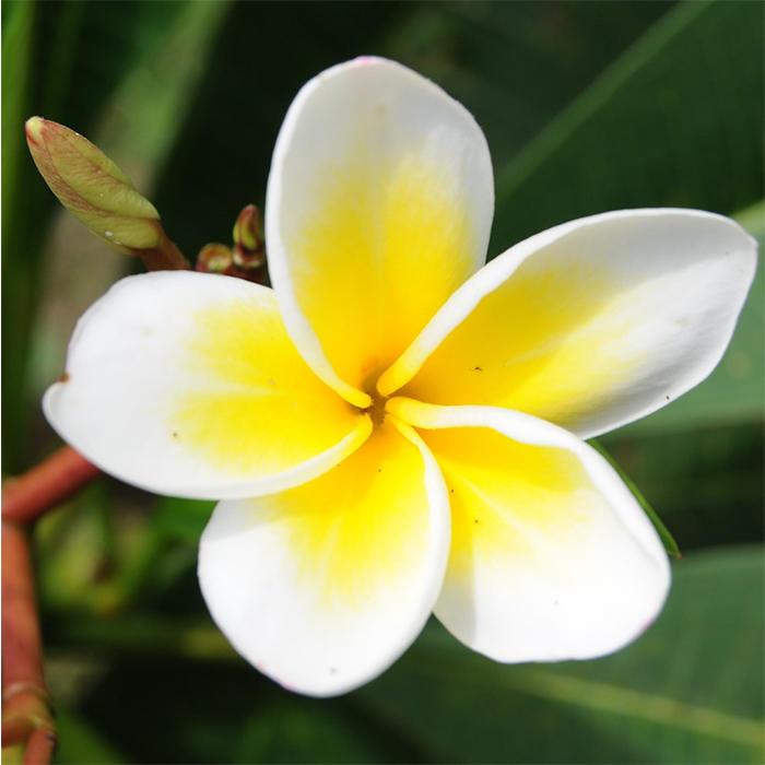 Plumeria rubra L. cv. Acutifolia